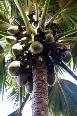 Magnificent and unique coco de mer Beauty In Nature Branch Close-up Coco Coco De Mer Coconut Coconut Palm Tree Day Food Freshness Fruit Growth Low Angle View Mahé Nature No People Outdoors Seychelles Tree Vertical