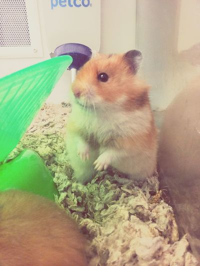 Domestic Animals Pets Hamster Mammal No People Animal Themes Petstore Petco One Animal Cage Indoors  Day
