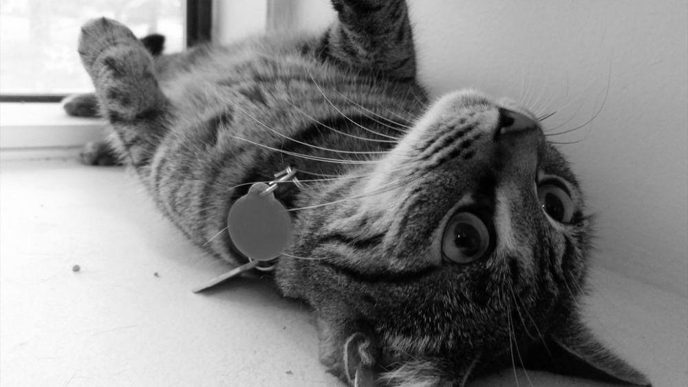 Cat Feline Maggie