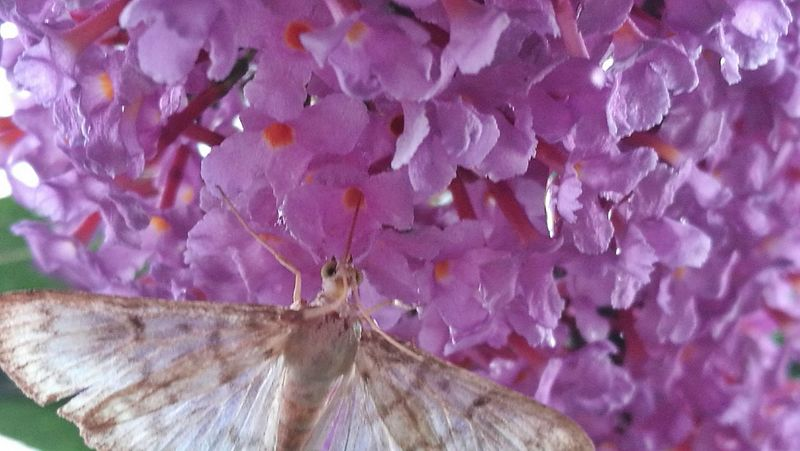Fragility Close-up Pink Color No People Full Frame Purple Flower Summer Lilac Outdoors Day Nature Beauty In Nature Freshness Butterfly - Insect Butterfly On Flower Butterfly ❤