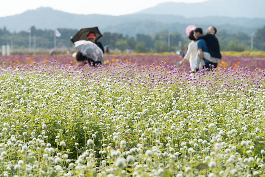 festival of globe amaranth flower with bellvedere at Nari Park in Yangju, Gyeonggido, South Korea Globe Amaranth Flower Adult Adults Only Agriculture Beauty In Nature Day Field Flower Freshness Globe Amaranth Grass Growth Mammal Men Nature One Animal Outdoors People Plant Real People Rural Scene Two People Women Young Adult Young Women