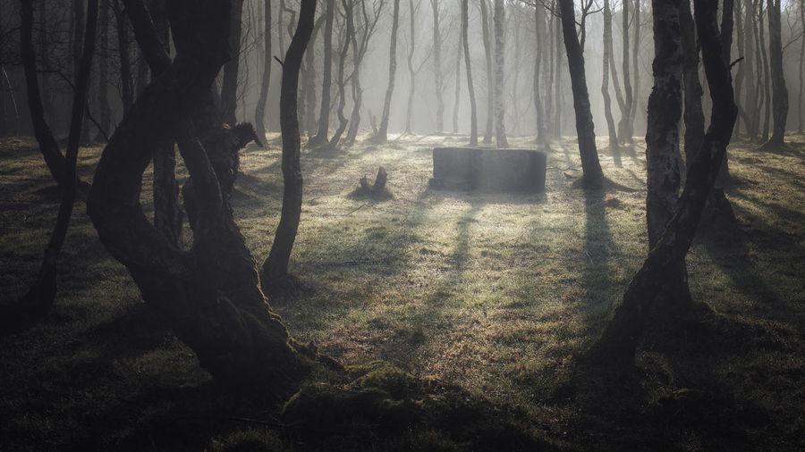 Misty Misty Morning Fog Foggy Morning Tree Shadow Tree Trunk WoodLand Sunlight Focus On Shadow Foggy Long Shadow - Shadow Treetop Woods Spooky Branch