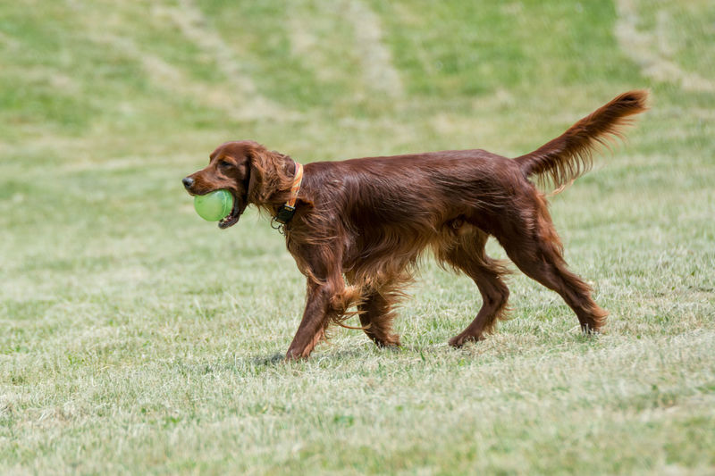 Irish setter carrying ball in mouth while walking on field