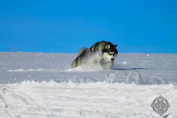 Siberian Husky Dog Animal Nature Mountain Husky First Eyeem Photo Snow ❄ Mushing Huskies
