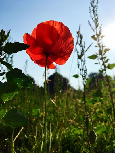 Ich mag diese Klatschmohnblüten in der Sonne... 🌷☀️😊 Flower Nature Growth Plant Beauty In Nature Petal Fragility Red No People Freshness Outdoors Day Focus On Foreground Close-up Leaf Green Color Poppy Flower Head Blooming Sky Capture The Moment EyeEm Nature Lover EyeEm Flower Klatschmohn