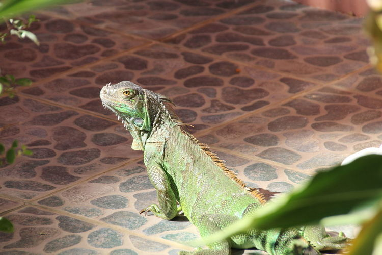 Animal Themes Animal Wildlife Animals In The Wild Close-up Day Green Iguana Nature No People One Animal Outdoors Reptile