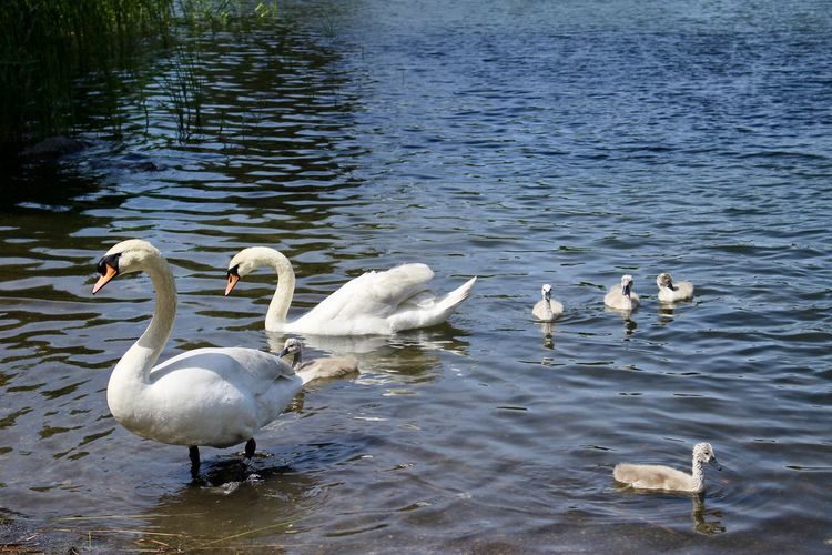 Animal Themes Animal Wildlife Animals In The Wild Beauty In Nature Bird Bird Photography Birdcollection Birds Of EyeEm  Day EyeEm Gallery Lake Nature Nature_collection No People Outdoors Swan Swan Family Swans Swimming Togetherness Water Water Bird White Color