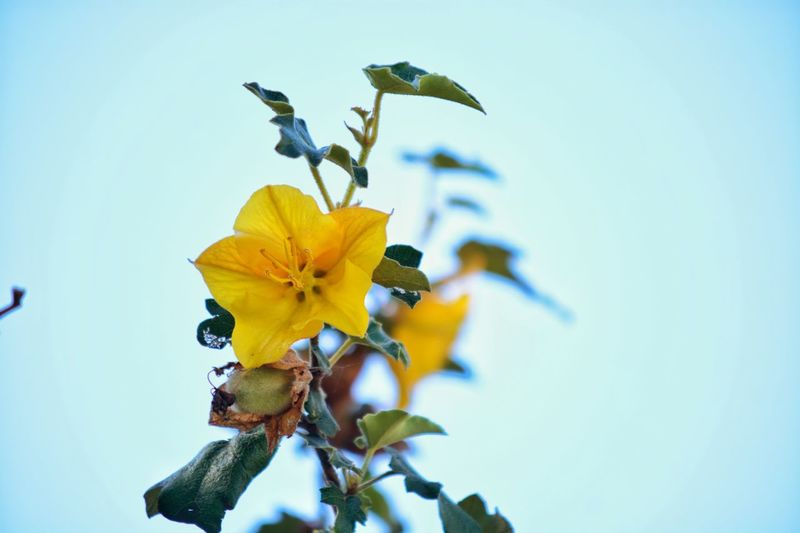 Close-up of yellow flowers against clear blue sky