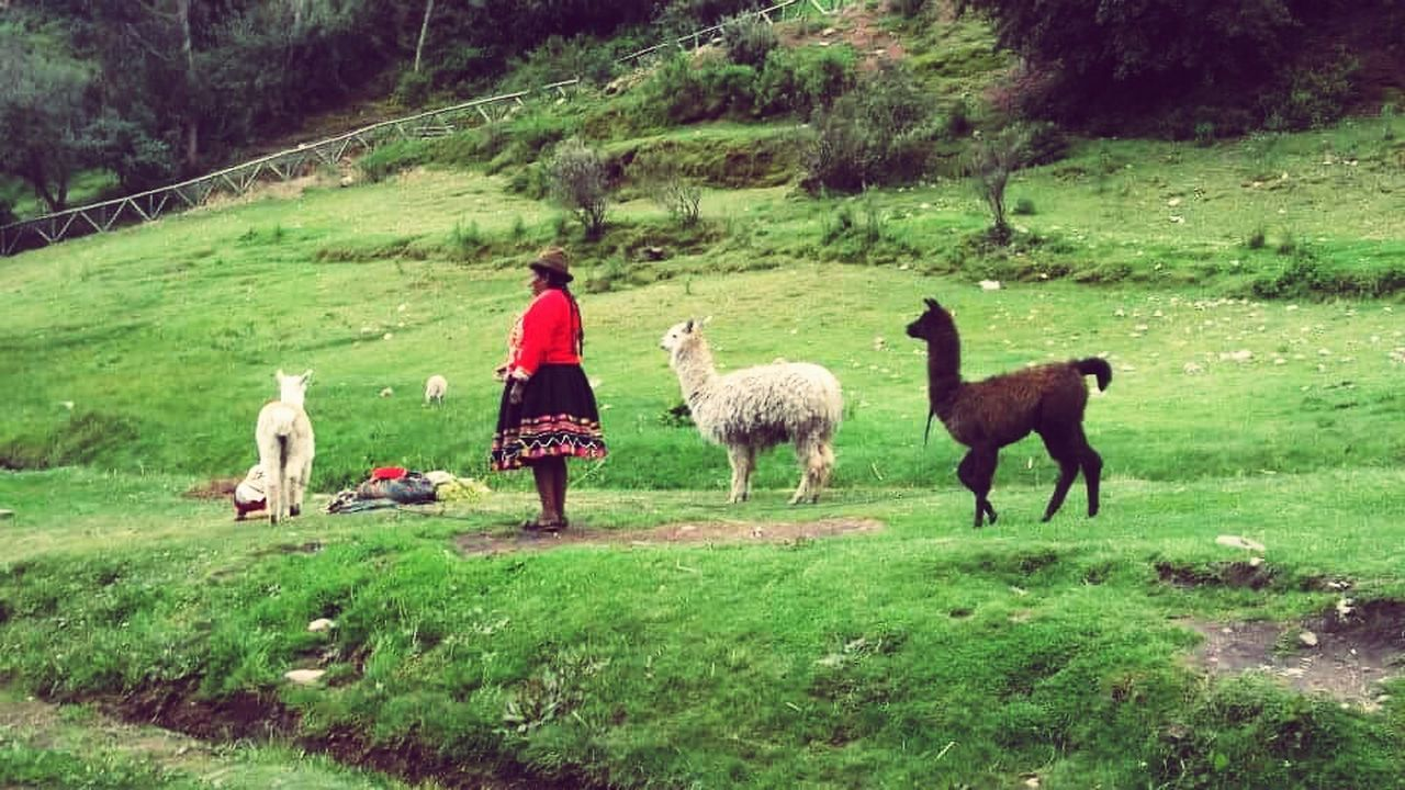 animal themes, domestic animals, one animal, mammal, pets, dog, grass, livestock, nature, full length, rear view, outdoors, green color, real people, tree, day, standing, llama, one person, beauty in nature, friendship, people