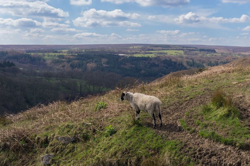 Full Length Of Sheep Standing At North York Moors National Park