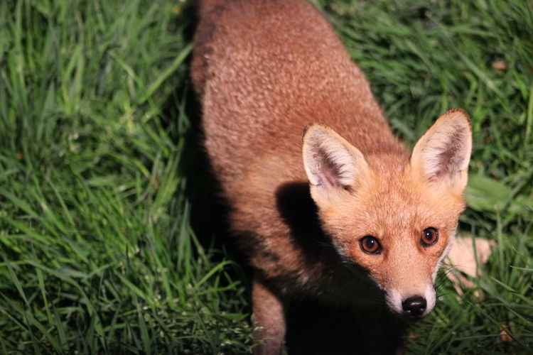 Nightlife Animal Wildlife Animals In The Wild Close-up Fox Mammal Nature No People Outdoors