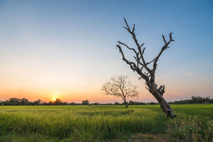 Bare tree on field against sky during sunset