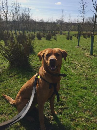 Nell to fox Lab 🦊 Forest Green Fox Red Lab Labrador Retriever Canine Collar Lead EyeEm Selects Domestic Pets Domestic Animals Canine Dog Mammal One Animal Animal Themes Plant Animal Nature Land No People Grass Portrait Looking At Camera Field Day Tree
