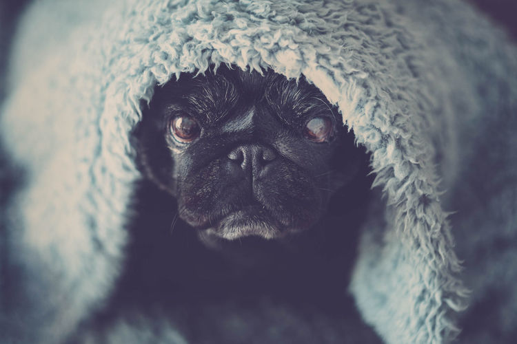 black old pug sit down looking at you serious and intense Animal Themes Black Colored Blanket Carlino Pug Close-up Covert Day Dog Domestic Animals Facial Expression Hidden Indoors  Intense Lying In Bed Mammal No People One Animal Pets Portrait Pug Dog Seriously Sweet Eyes Sweetness