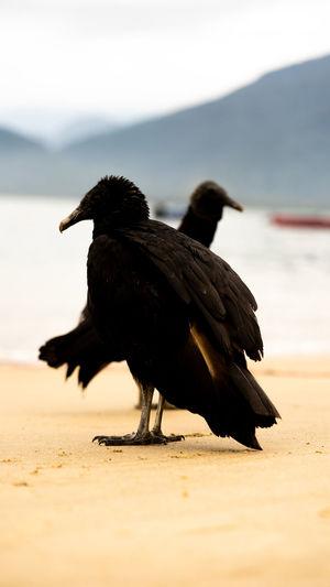 cuervo Bird