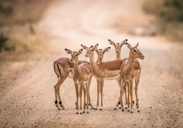 Impalas standing on dirt road
