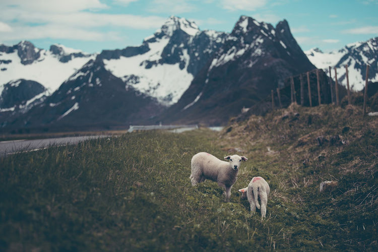 Two baby lambs eating grass by a road in Lofoten, Norway Animal Themes Baby Beauty In Nature Day Domestic Animals Field Grass Lamb Landscape Lofoten Mammal Mountain Mountain Range Nature No People Norway One Animal Outdoors Peak Sheep Sky Young Lost In The Landscape