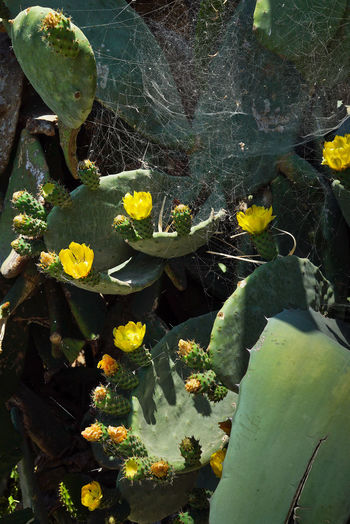 High angle view of prickly pear cactus