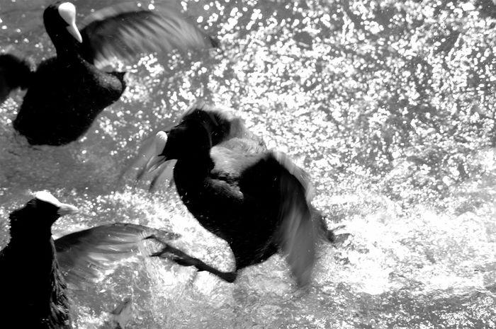 Beauty In Nature Bird Black And White Coot Coot Fight Coots Day Fight Fighting Nature Nature's Diversities Rippled Splash Splashing Water Water Bird Motion Blur Motion Motion Capture EyeEm Best Shots - Black + White Monochrome Photography Animals In The Wild Wild