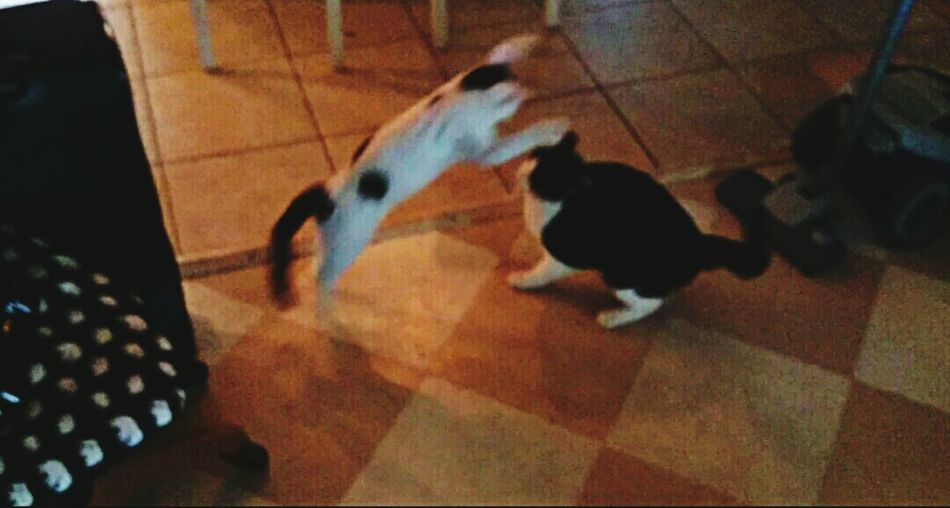 Playing With The Animals , my Cats , Sauron and Sessie is having fun