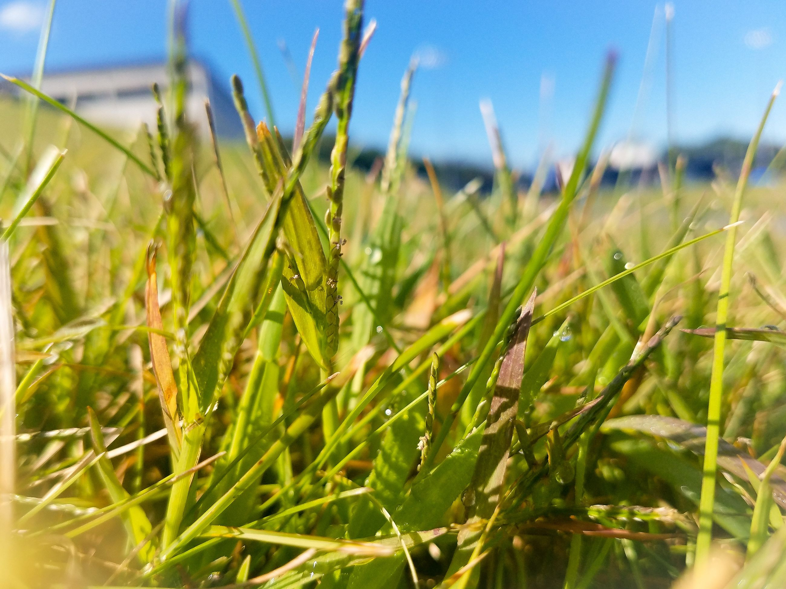 growth, plant, green color, beauty in nature, nature, land, close-up, day, sky, field, focus on foreground, tranquility, no people, grass, selective focus, agriculture, crop, sunlight, outdoors, landscape, blade of grass