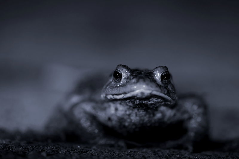 it is so nice to watch the toad migration in spring Animal Animal Body Part Animal Themes Animal Wildlife Animals In The Wild Nature Night No People One Animal Outdoors Reptile Toad Toad Migration