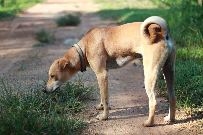 Dog Thai Animal