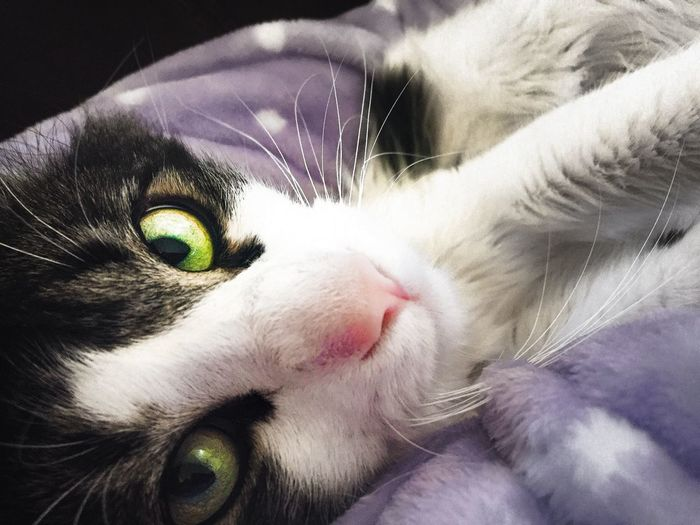 Cat's unblinking love Unconditional Love Laptime Cat Lovers One Animal Pets Domestic Close-up Mammal Domestic Animals Vertebrate Looking At Camera Feline Whisker