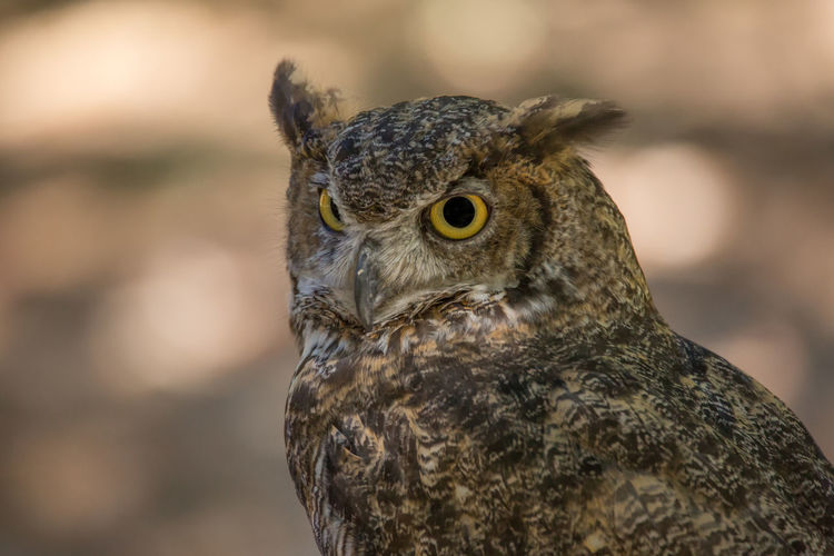 Owl portrait Alertness Animal Body Part Animal Eye Animal Head  Animal Themes Beak Beauty In Nature Bird Bird Of Prey Close-up Day Eagle Feather  Focus On Foreground Nature No People Outdoors Owl Portrait Selective Focus Wildlife First Eyeem Photo
