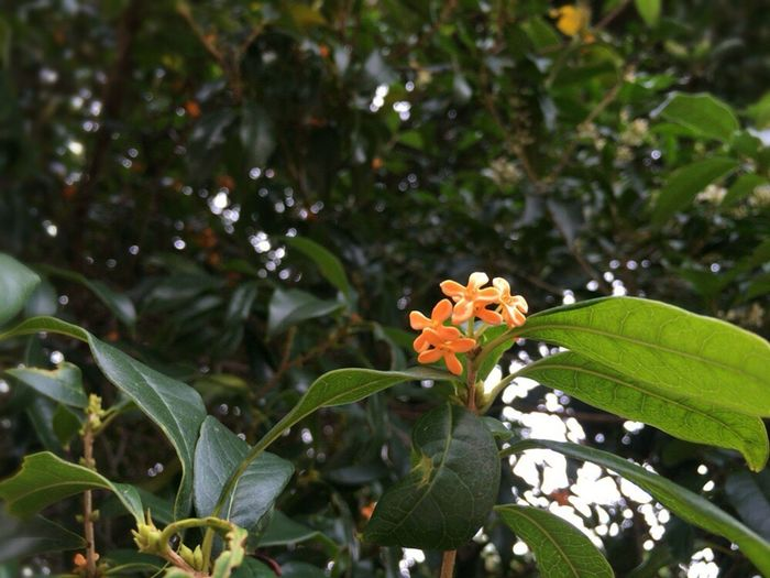 Osmanthus Fragrans Var. Aurantiacu Autumn Flower Autum Flowers Fragrant Orange-colored Olive Osmanthus Fragrans Lour. Var. Aurantiacus Makino Kinmikusei 金木犀