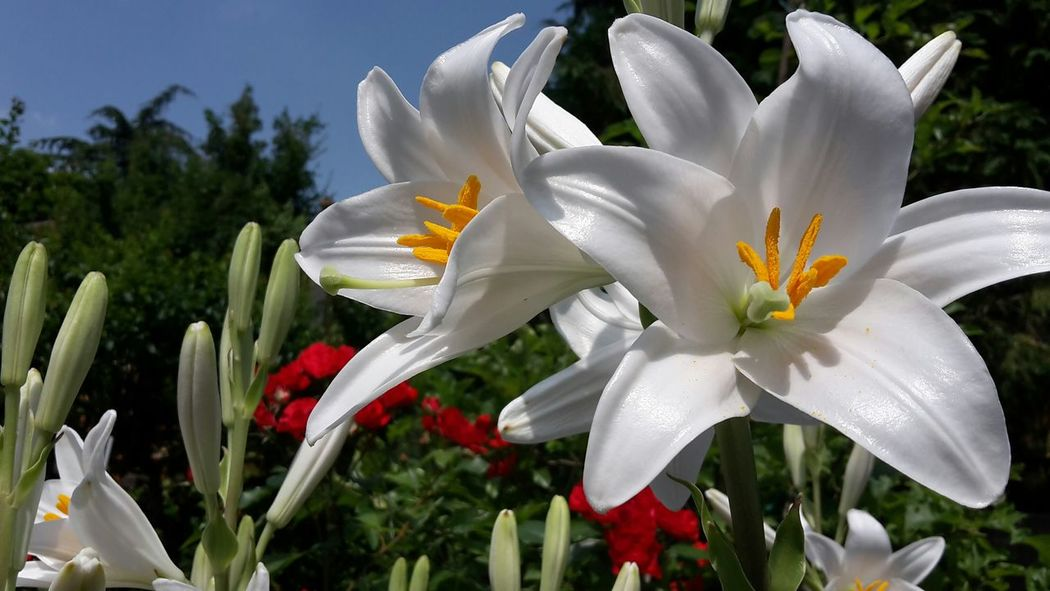 Flower White Flower Beautiful No Filter BIG Nature Perfect Colors Big Flower