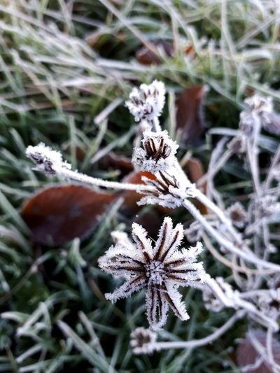 Flower Frozen Nature Snow Cold Temperature Winter Snowflake Close-up Plant Frost Ice Crystal Icicle Ice Cold Weather Condition Wilted Plant