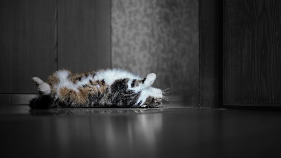 Side View Of Cat Lying On Floor At Home