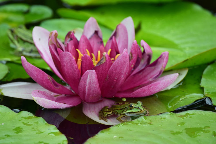 Beauty In Nature Blooming Blossom Close-up Day Floating On Water Flower Flower Head Focus On Foreground Fragility Freshness Green Color Growth In Bloom Leaf Lotus Water Lily Nature No People Outdoors Petal Pink Color Plant Pond Selective Focus Water Lily