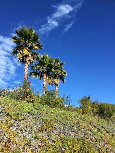 California Palm Trees Plant Growth Sky Tree Nature Beauty In Nature Blue Low Angle View No People Scenics - Nature Day Sunlight Outdoors Cloud - Sky Flowering Plant Land