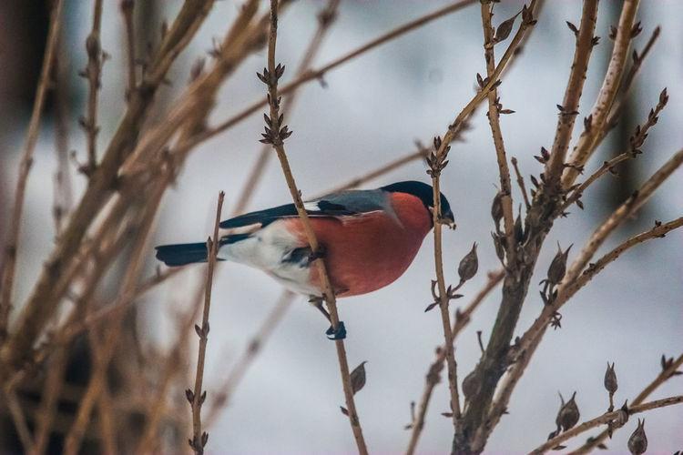 A beautiful bullfinch in the winter Feeding  Nature Red Winter Animal Themes Bird Bullfinch Snow