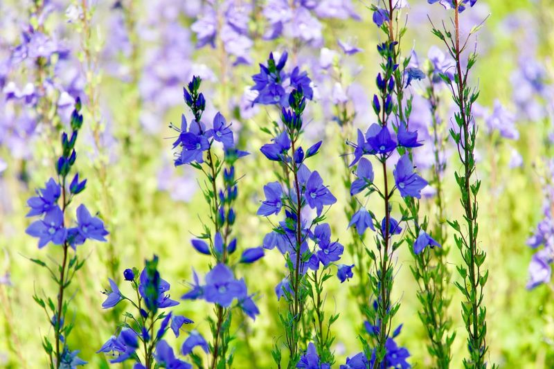 Flowering Plant Flower Plant Growth Beauty In Nature Freshness Vulnerability  Focus On Foreground Nature Day Petal No People Blue Selective Focus Fragility Field Lavender Land Close-up Purple