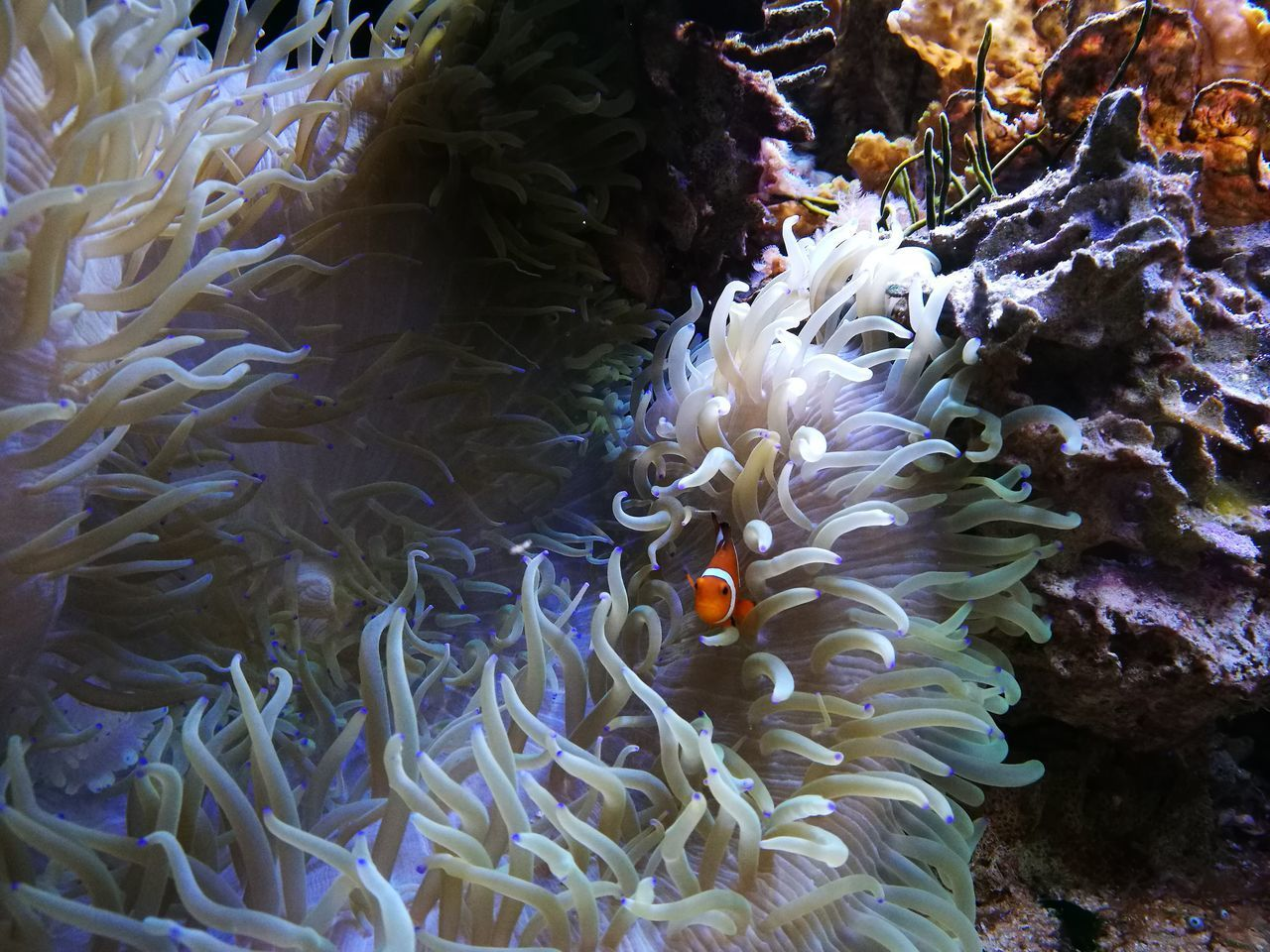 sea, underwater, animals in the wild, animal wildlife, water, animal themes, animal, undersea, swimming, marine, sea life, coral, no people, vertebrate, invertebrate, fish, group of animals, nature, beauty in nature, clown fish, outdoors