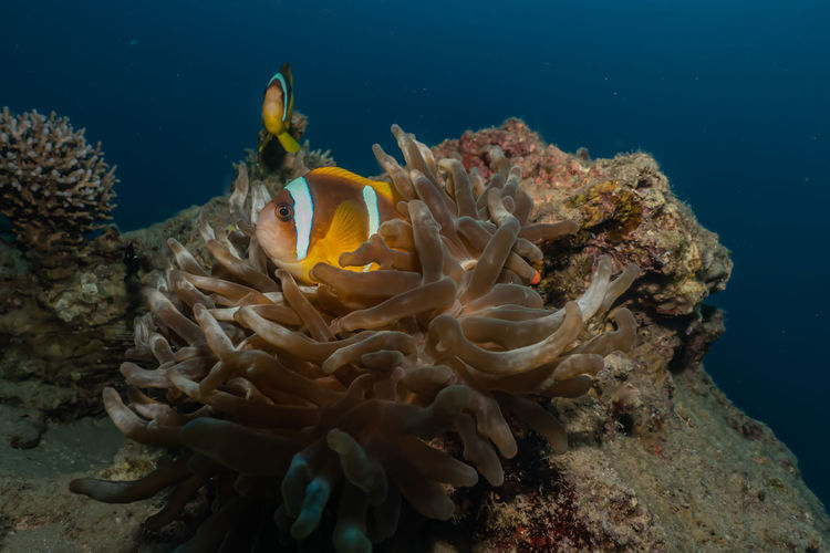 Clownfish in the Red Sea Colorful and beautiful, Eilat Israel Sea Underwater Sea Life UnderSea Animals In The Wild Animal Wildlife Water Marine Animal Themes Animal Coral Invertebrate Nature Swimming Beauty In Nature No People Fish One Animal Close-up Ecosystem