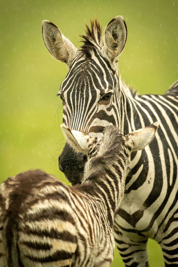 Close-up of two zebras
