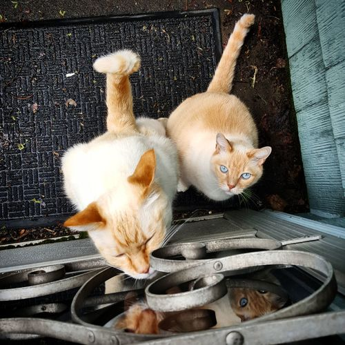 Photo of cat(s) in everyday situations. Brothers Cat Cats High Angle View Outside Siamese Siamese Cat Sleeping Cat Stuck Outside