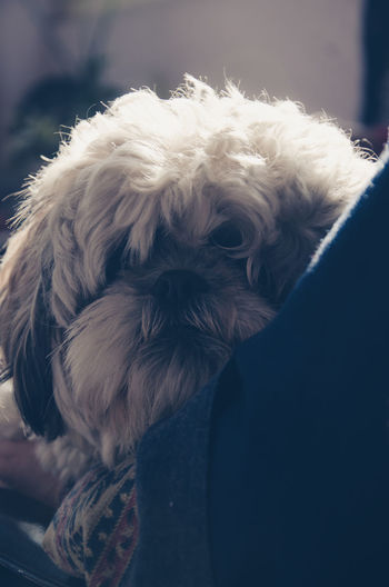 Shih Tzu Pet Portraits Pet Photography  TheWorldThroughMyLens Lifeasiliveit Agameoftones Artofvisuals Vibesofvisuals Dog Pets One Animal No People Domestic Animals Close-up