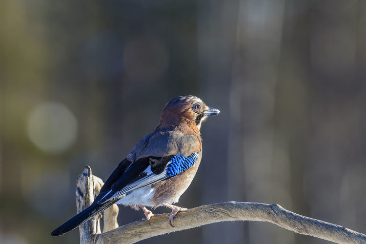 The Eurasian jay is both a clever and beautiful bird. Animal Vertebrate Animal Themes Animal Wildlife Bird Animals In The Wild One Animal Perching Focus On Foreground Day Close-up No People Nature Looking Away Outdoors Looking Tree Branch Selective Focus Sunlight Eurasian Jay