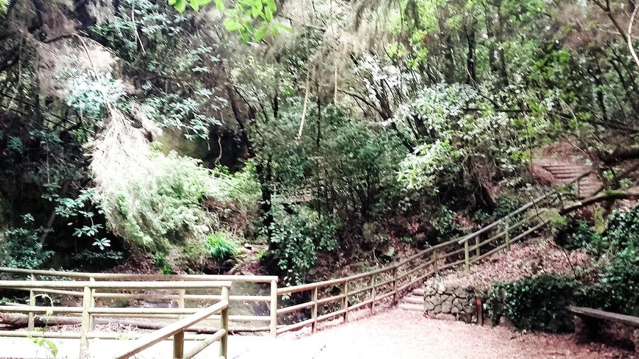 Sendero con encanto👣💚🌏 Tree Nature Growth No People Tranquility Green Color Day Outdoors Beauty In Nature Forest Bamboo Grove Lush - Description Tenerife Human Hand Low Angle View Arboles , Naturaleza Arboles Adults Only Green Color Nature Leaf Close-up Beauty In Nature Freshness Tenerife...