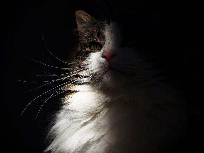 King Fritz Cat