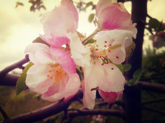 First Eyeem Photo Flowers Apricots Spring