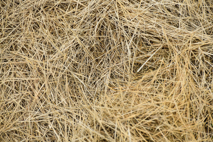 Dry grass Grass Agriculture Backgrounds Brown Cereal Plant Close-up Day Dry Drygrass Farm Field Full Frame Growth Hay High Angle View Land Nature No People Outdoors Plant Straw Tranquility