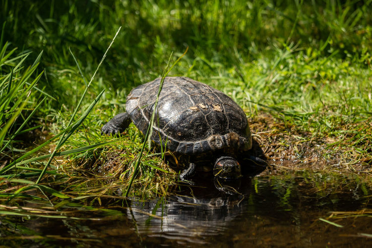 Animal Animals Aquatic Behavioral Behaviors Couple Ecology Ecosystem  Environment Family Lake Life Log Marsh Naturally Nature Outdoors Pair Park Pond Protection Reflection Reflection In Water Reptile Resting River Scene Season  Shell Spring Summer Sun Together Turtle Turtles Two Watching Water Wetland Wild Animals Wildlife Wood
