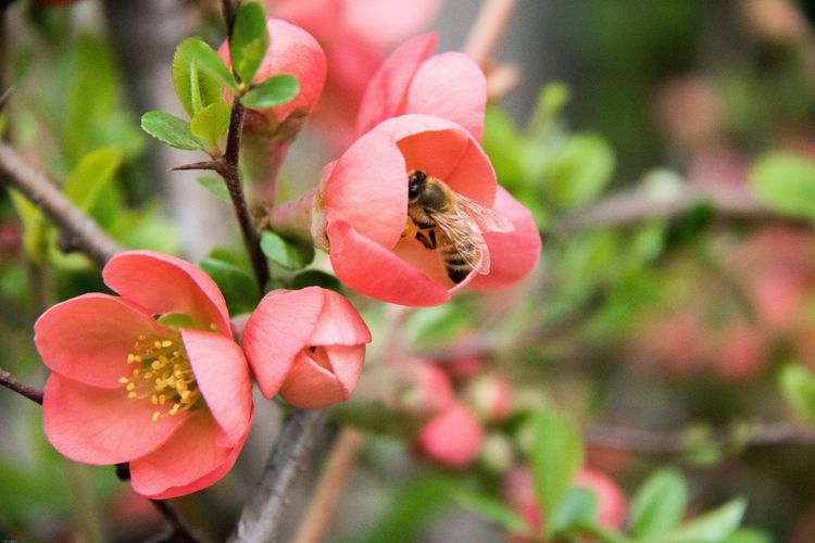 Flower Growth Nature Petal Freshness Beauty In Nature Insect Fragility One Animal Animal Themes Plant Animals In The Wild Bee Focus On Foreground Pink Color Pollination Buzzing Day Outdoors Close-up Be e
