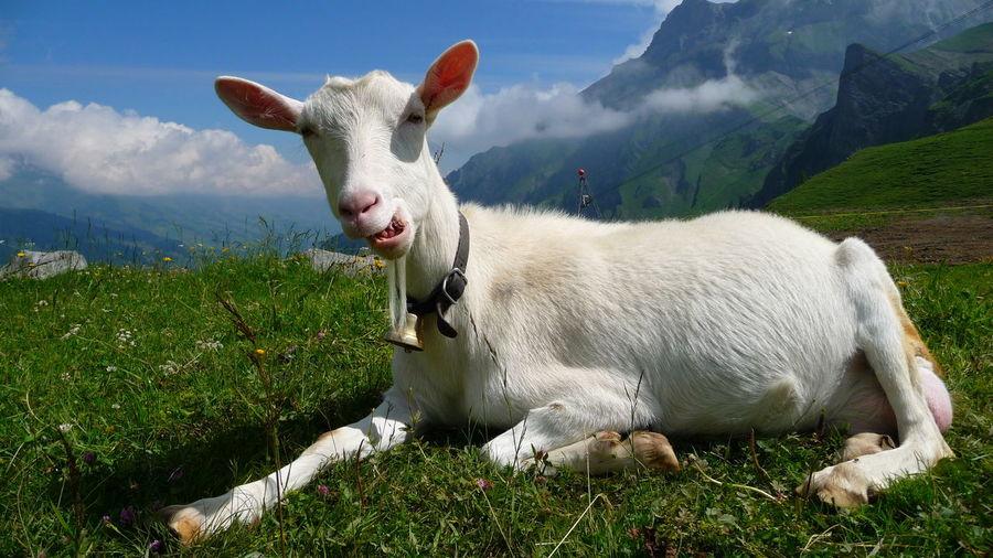 White goat on mountain
